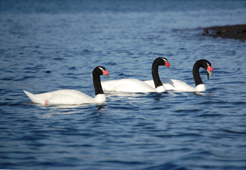 Black Neck Swans Chiloe Is